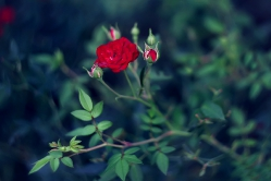 Красная роза – эмблема любви