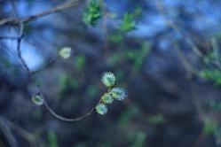 Ива цветет
