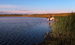 Вечерний водопой. Озеро в д. Георгиевка, Кормиловский район, Омская область