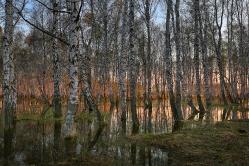 Березовый лес.  д. Осиповка, Горьковский район. Омская область