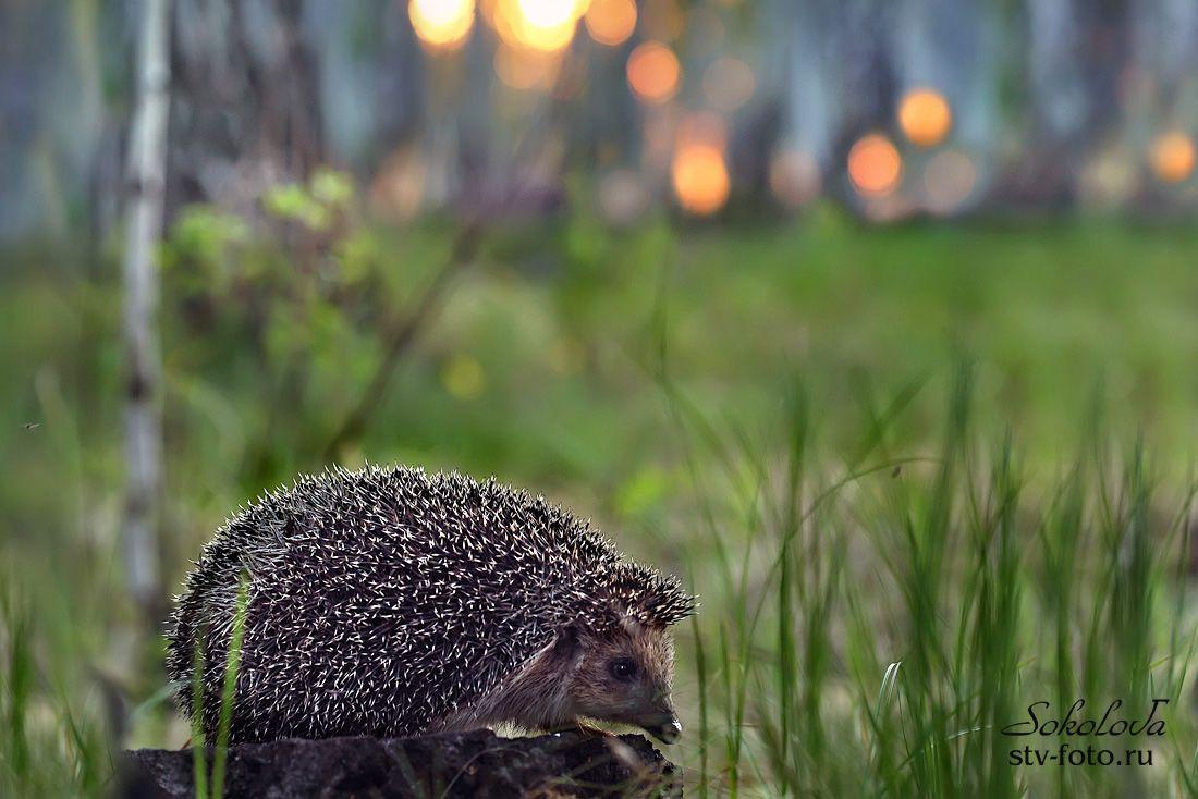 Сказка про то, как в лесу жил ёж...